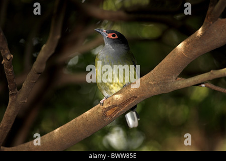 Green Figbird (Sphecotheres viridis) adult male, perched on branch, Australia - Stock Photo