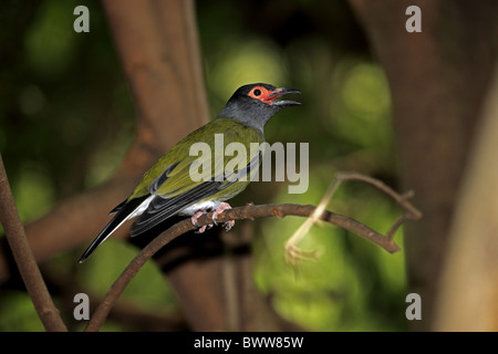 Green Figbird (Sphecotheres viridis) adult male, calling, perched on twig, Australia - Stock Photo