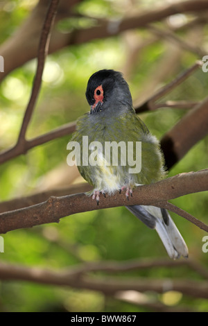 Green Figbird (Sphecotheres viridis) adult male, preening, perched on branch, Australia - Stock Photo