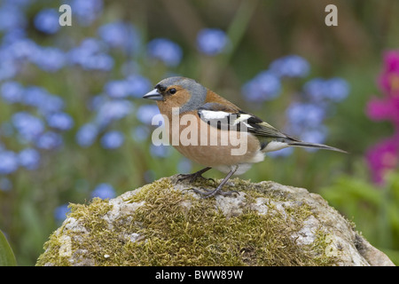 Chaffinch (Fringilla coelebs) adult male, perched on rock in garden, England, june - Stock Photo