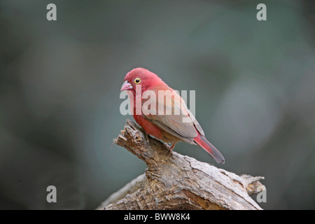 Red-billed Firefinch (Lagonosticta senegala) adult male, perched on branch, Gambia, december - Stock Photo
