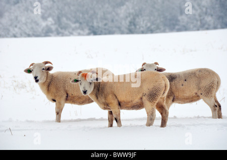 Three Wiltshire horn sheep (Ovis aries) on snow covered pastureland. Wiltshire, UK, January 2010. - Stock Photo