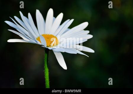 one single daisy white isolated on dark background - Stock Photo