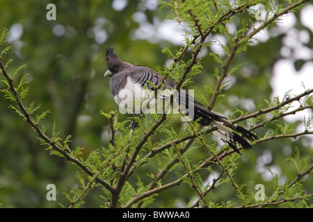 White-bellied Go-away-bird (Corythaixoides leucogaster) adult female, perched in tree, Awash N.P., Afar Region, - Stock Photo