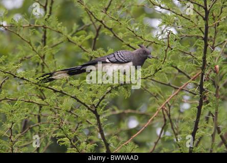 White-bellied Go-away-bird (Corythaixoides leucogaster) adult male, perched in tree, Awash N.P., Afar Region, Ethiopia, - Stock Photo