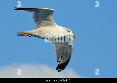 Yellow legged gull (Larus cachinnans michahellis) in flight over sea, between Isle of Lesbos /Lesvos, Greece and - Stock Photo