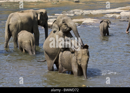 Mating Asian Elephants - Stock Photo