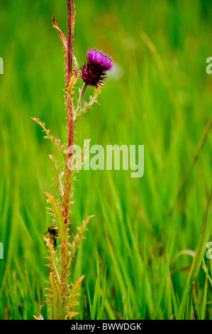 purple thistle green tall wild grasses - Stock Photo