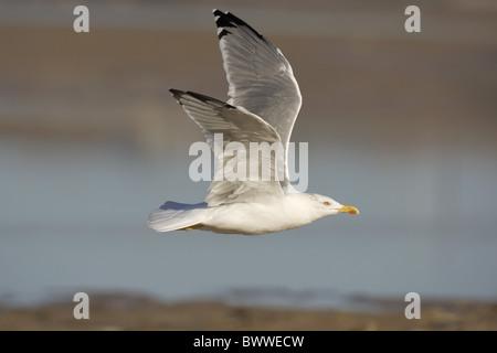 Yellow-legged Gull (Larus cachinnans) adult, in flight, Spain - Stock Photo