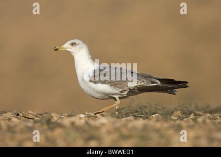 Yellow-legged Gull (Larus cachinnans) sub-adult, walking, Fuerteventura, Canary Islands - Stock Photo
