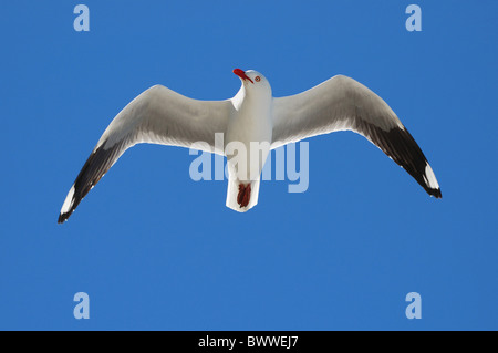 Silver Gull (Larus novaehollandiae) adult, in flight, Lady Elliot Island, Great Barrier Reef, Queensland, Australia, - Stock Photo