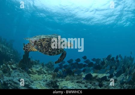 Hawksbill Turtle (Eretmochelys imbricata) adult, swimming with fish school, Molasses Reef, Key Largo, Florida Keys, - Stock Photo