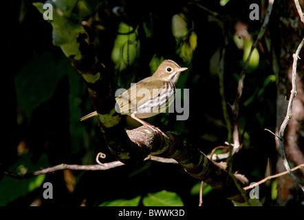 Ovenbird (Seiurus aurocapillus) adult, perched on low branch, Marshall's Pen, Jamaica, november - Stock Photo