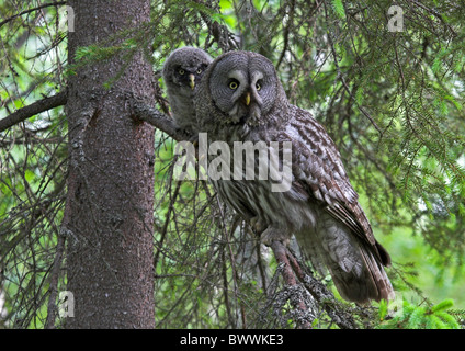 Great Grey Owl (Strix nebulosa) adult with chick, perched in Norway Spruce (Picea abies), Finland, june - Stock Photo