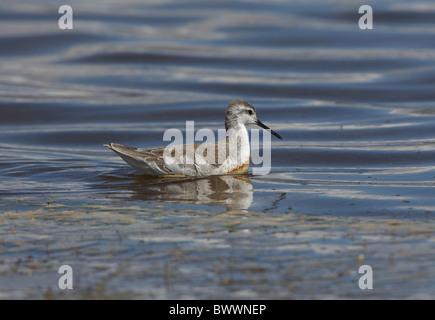 Wilson's Phalarope (Phalaropus tricolor) adult, swimming on puna lake, Jujuy, Argentina, january - Stock Photo
