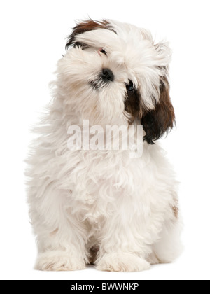 Shih Tzu puppy, 3 months old, sitting in front of white background - Stock Photo