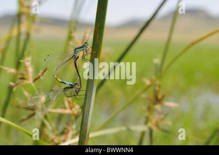 damselfly freshwater insect Invertebrates Ischnura genei Italy mating Odonata rare species Sardinia invertebrate - Stock Photo