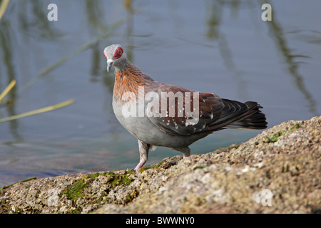 Speckled Pigeon (Columba guinea) adult, walking on rock beside lake, Lake Awassa, Great Rift Valley, Ethiopia, april - Stock Photo