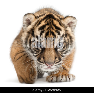 Sumatran Tiger cub, Panthera tigris sumatrae, 3 weeks old, in front of white background Stock Photo