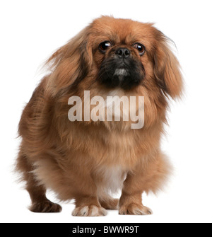 Pekingese, 8 months old, standing in front of white background - Stock Photo