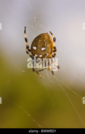 animal animals autumn banded britain british brown climb climbing cobweb cobwebs countryside dorset dot dots england - Stock Photo