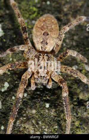 Arachnids portrait spider Zoropsis spinimana spider spiders arachnid arachnids arthropod arthropods animal animals - Stock Photo