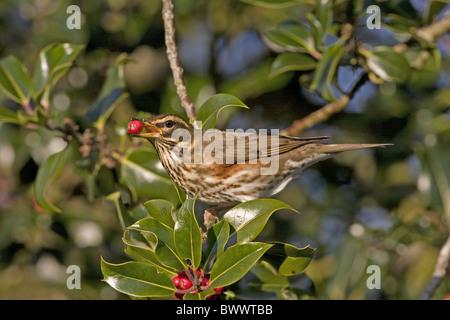 Redwing (Turdus iliacus) adult, feeding on holly berries, England, january - Stock Photo