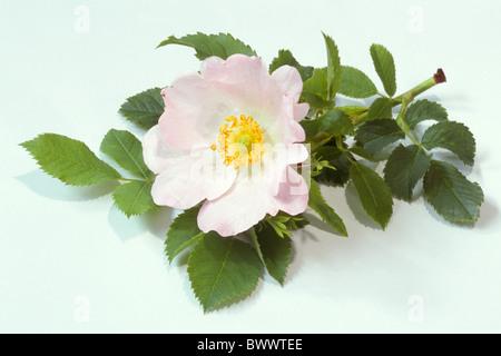 Dog Rose (Rosa canina), flower and leaves, studio picture), flower and leaves, studio picture. - Stock Photo