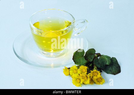 Coltsfoot (Tussilago farfara), cup of tea and flower, studio picture. - Stock Photo