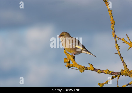 Greenfinch Carduelis chloris on lichen covered branch against the sky - Stock Photo