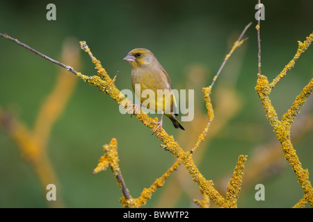 Greenfinch Carduelis chloris on lichen covered branch - Stock Photo