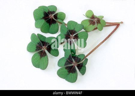 Good Luck Leaf, Lucky Clover (Oxalis tetraphylla), leaves, studio picture. - Stock Photo