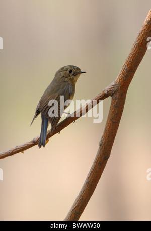 Orange-flanked Bush-robin (Tarsiger cyanurus) adult female, perched on twig, Hebei, China, may - Stock Photo