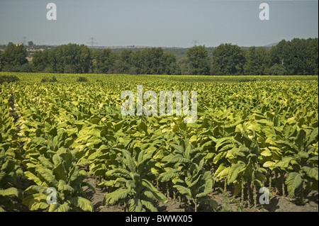 Tobacco (Nicotiana sp.) crop in field, Spain - Stock Photo