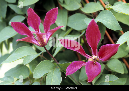 Scarlet Clematis (Clematis texensis), variety: Gravety Beauty, flowering. - Stock Photo