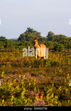 A pony amongst the late summer heather in the New Forest National Park - Stock Photo