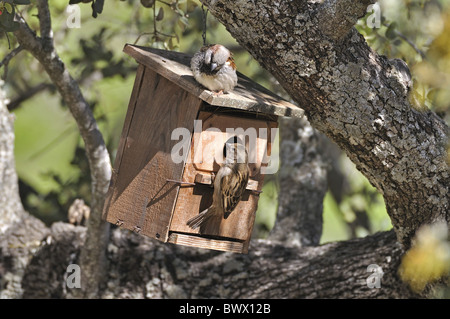 House Sparrow (Passer domesticus) adult pair, at nestbox in tree, Monfrague, Extremadura, Spain, april - Stock Photo