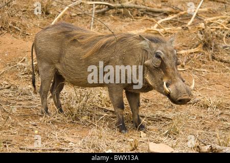 Warthog Phacochoerus africanus Kruger National Park South Africa - Stock Photo
