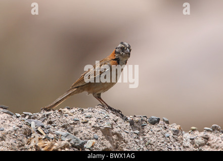 Rufous-collared Sparrow (Zonotrichia capensis) adult, standing on stony bank, Salta, Argentina, january - Stock Photo