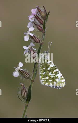 animal animals butterfly butterflies insect insects invertebrate invertebrates arthropod arthropods white whites - Stock Photo