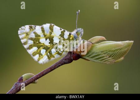 Eastern Dappled White (Euchloe ausonia) adult, roosting on Sweet Chestnut (Castanea sativa) opening buds, Mount - Stock Photo