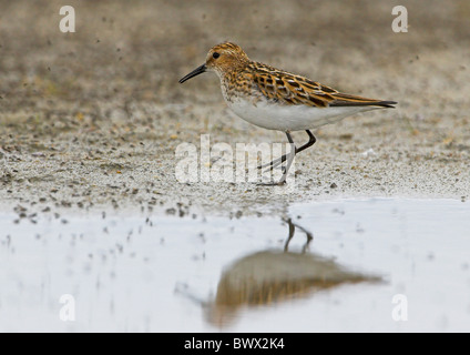 Little Stint (Calidris minuta) adult, summer plumage, feeding on insects, Northern Norway - Stock Photo
