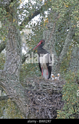 Black Stork (Ciconia nigra) adult, with chicks in nest, nesting in Cork Oak (Quercus suber), Extremadura, Spain, - Stock Photo