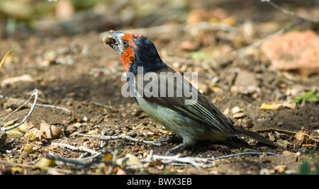 Black-Collared Barbet Lybius torquatus Kruger National Park South Africa - Stock Photo