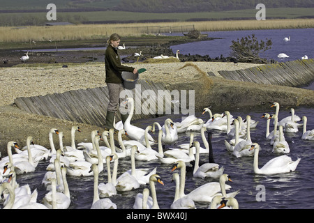 Mute Swan (Cygnus olor) adults, flock being fed by swankeeper, Abbotsbury, Dorset, England, spring - Stock Photo
