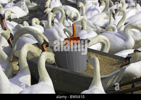 Mute Swan (Cygnus olor) adults, flock feeding from wheelbarrow, Abbotsbury, Dorset, England, spring - Stock Photo