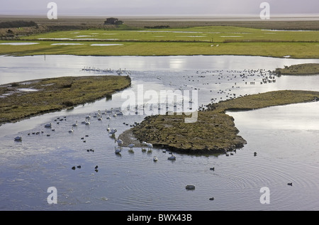 Whooper Swan Cygnus cygnus - Stock Photo