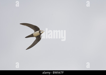 Alpine Swift (Apus melba) adult, in flight, on migration, Tarifa, Cadiz, Andalusia, Southern Spain, autumn - Stock Photo