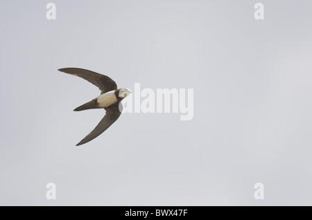 Alpine Swift (Apus melba) adult, in flight, on migration, Tarifa, Cadiz, Andalusia, Southern Spain, autumn