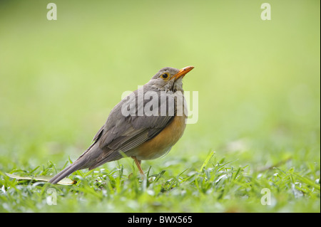 Olive Thrush (Turdus olivaceus) adult, standing on grass, Kwando, Linyanti, Botswana - Stock Photo